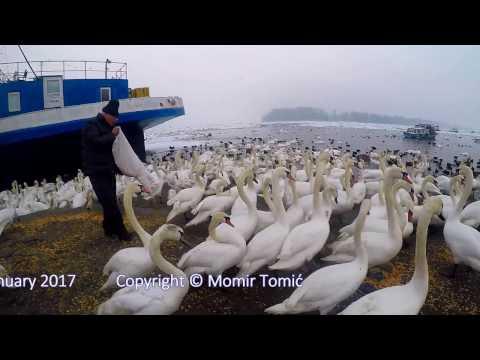 Feeding Swans on the frozen Danube