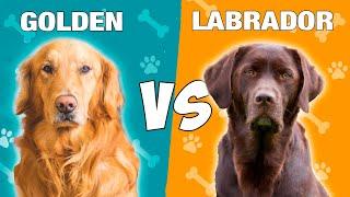 Golden Retriever vs Labrador Retriever en ESPAÑOL