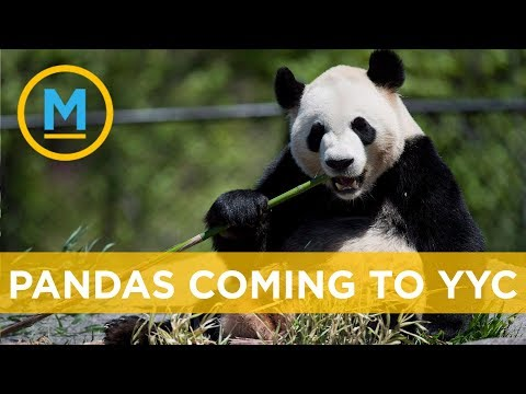 Calgary Zoo ready to welcome giant pandas | Your Morning