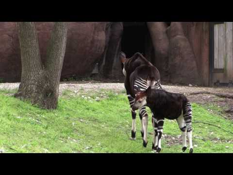 Okapi calf at Saint Louis Zoo