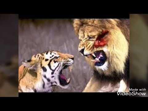 Aslan mı güçlü Kaplan mı?