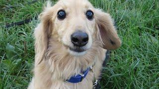Toffee - Miniature Dachshund - 2 Week Residential Dog Training