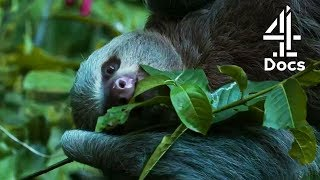 Will This Adorable Sloth Find His Potential Mate?