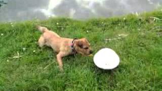 Silly Border Terrier