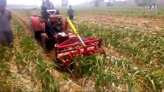 Уборка чеснока Китай  Часть 1 Cleaning garlic in China  Part 1