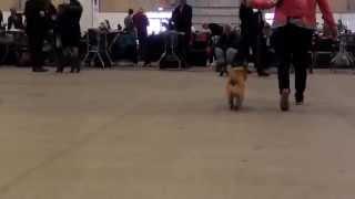 Cairn Terrier Zalazar Mai Tai