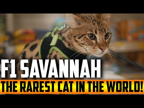 F1 Savannah - The Rarest Cat In The World (4K)