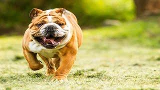 ТОП 10 САМЫХ ДОРОГИХ ПОРОД СОБАК.Самые дорогие собаки.Самые редкие собаки [Удивительный мир#25]