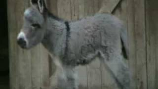 JUDY OUR MINIATURE DONKEY BABY