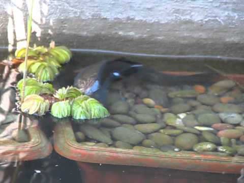 Mi estanque con peces koi youtube for Peces y estanques