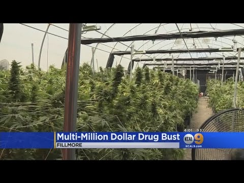 Authorities Bust Multi-Million Dollar Marijuana Growing Operation In Fillmore