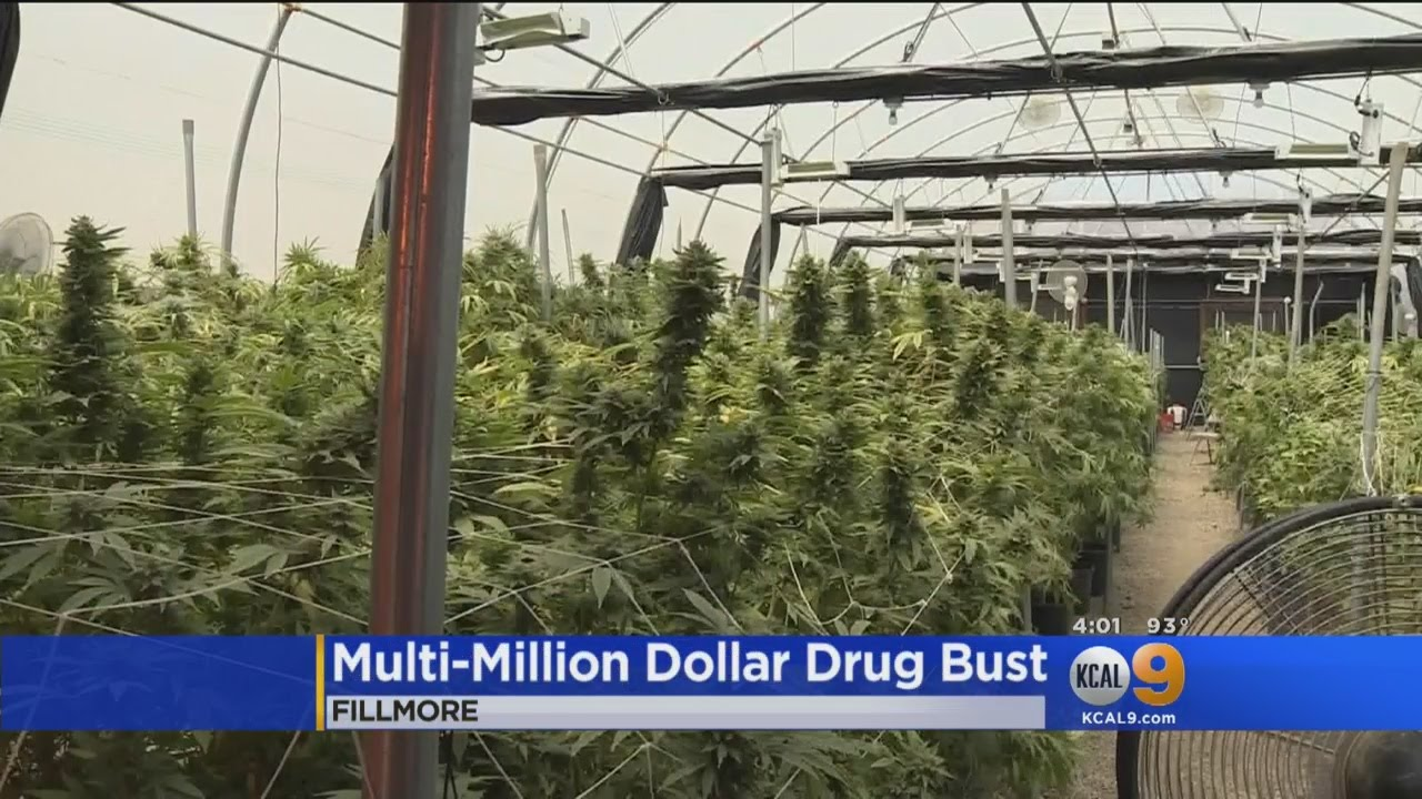 Authorities Bust Multi Million Dollar Growing Operation In Fillmore