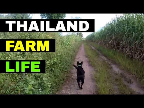 THAILAND FARM LIFE UPDATE WITH BAMBI - Rural life Thailand Homestead THAI VLOG THAI VLOGG วิดีโอตลก