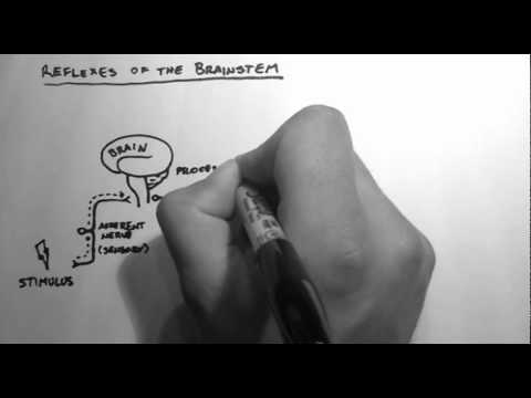 Reflexes 1 - Reflexes of the Brainstem