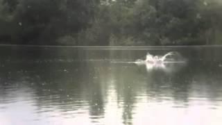 Рідкісний кадр на риболовлі! Гарний сплеск великого коропа в уповільненому дії =