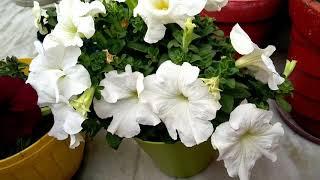 पिटूनिया पर ढेर सारी फूल पाने के लिए ये तरीके जरूर अपनाएं, how to get more flower on Petunia