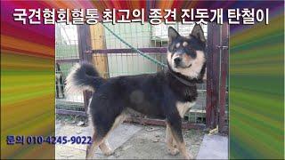 국견협회혈통 작품견 진…
