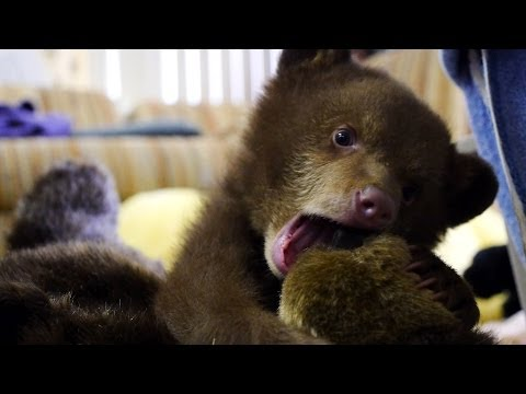 Orphaned Bear Cub 'Tahoe' at Lake Tahoe Wildlife Care
