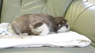 2014年8月26日生まれのシベリアンハスキーの子犬です。 http://www.wanb...