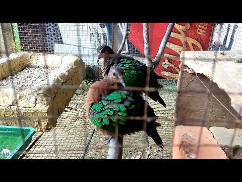 Burung punai tanah atau Delimukan Zamrud 1
