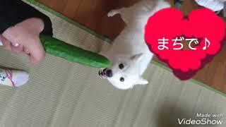 きゅうりが大好物❤ 食べるまでの試練w.