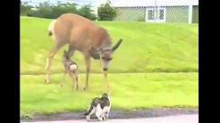 O caprioara isi apara puiul atacand o Pisica si un Caine