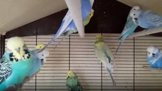 🐥 🐤 Волнистые попугаи: выставочные и радужные