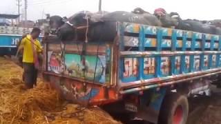 Unloading Buffaloes from Truck at Gabtoli Goru Haat!!!