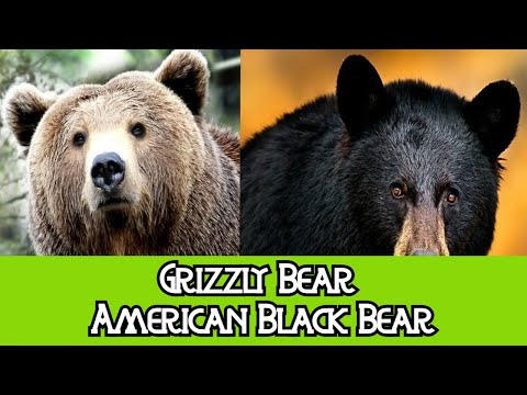 Grizzly Bear & Black Bear - The Differences