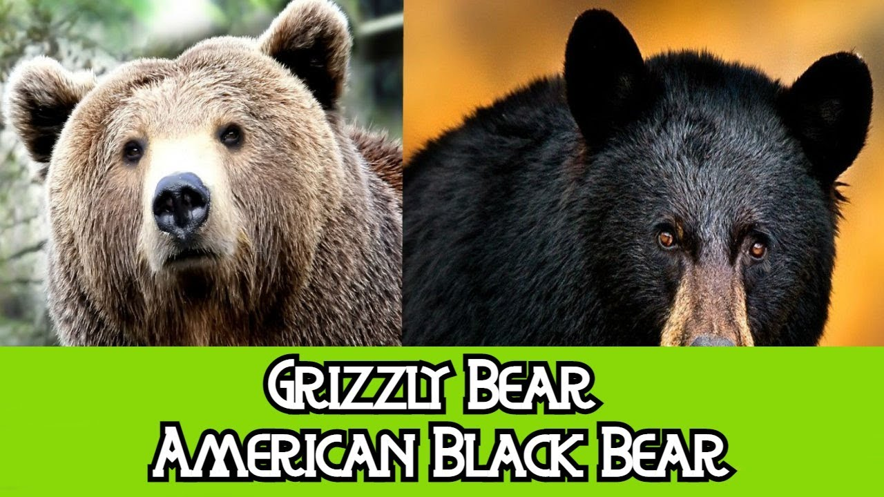 Grizzly Bear & Black Bear - The Differences - YouTube
