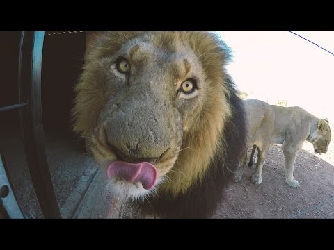 What Affection REALLY Looks Like | The Lion Whisperer