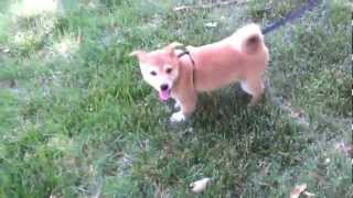 Midwest Shiba Inu Rescue - Mcgee (wi 4)