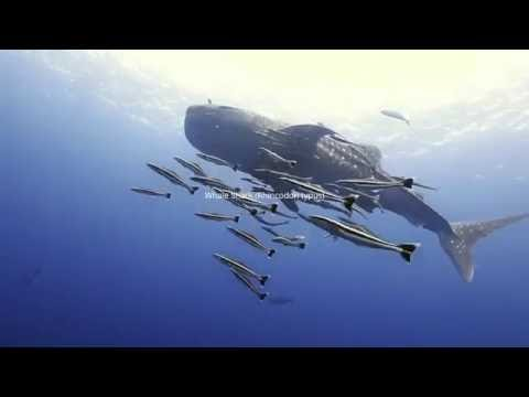 Whale Shark in Tenggol Island HD (May 2016)