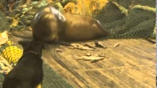 Морской лев атакует русских рыбаков и кусает собаку