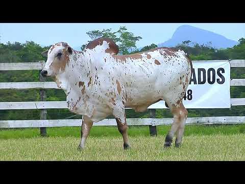 LOTE 132   FHGN A 2133 NELORE PINTADO