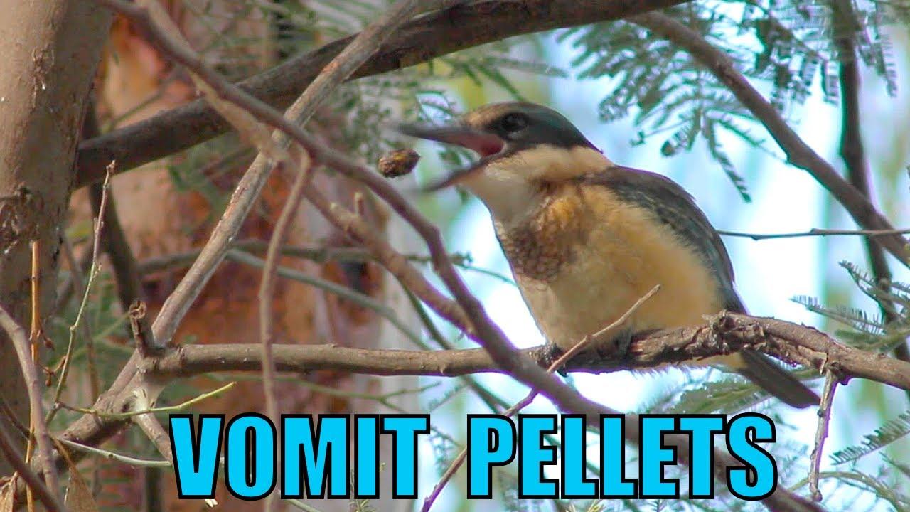 Sacred Kingfisher vomiting a pellet - Biodiversity Shorts #21