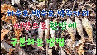 #하수오(적하수오),백수오(백하수오),박주가리의 씨방(…