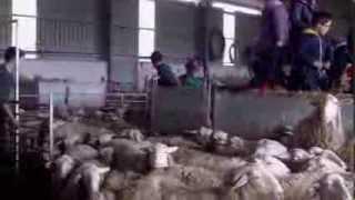 El esquileo de las ovejas en Lerín.10-5-2013