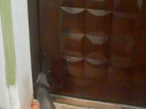 видео: Умный кот открывает сам себе двери