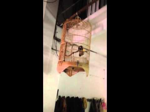 chim khuou tap hot