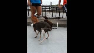 Italian Greyhounds And Miniature Pinschers