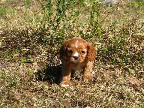 Cavalier King Charles Spaniel, Puppies, Dogs, For Sale, In Birmingham, Alabama, AL, 19Breeders