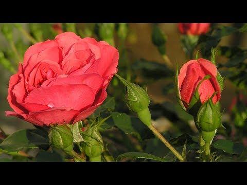 Как сажать осенью розы