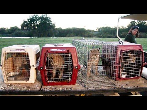 Kewlona | Big Cat Rescue