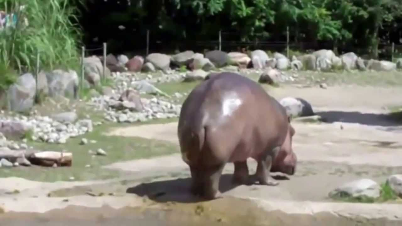 le plus gros pet du monde l 39 hippopotame funnydog tv. Black Bedroom Furniture Sets. Home Design Ideas