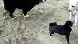 Half Pug-half Japanese Chin  Mixed Breed Dog 1