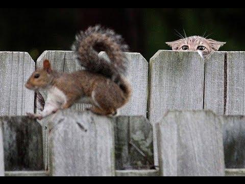 Squirrel vs Manx