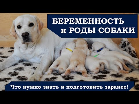 Рождение щенков, беременность и подготовка к родам собаки
