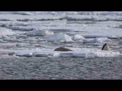 Neko Harbour Gerlache strait Leopardseal Killer whales in action