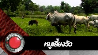 หมูเลี้ยงวัว l เรื่องจริงผ่านจอ